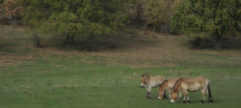 Manada de caballos przewalskii en la reserva Paleolítico Vivo (Burgos