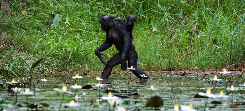 Chimpance caminar