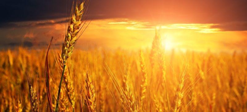Un campo de trigo al atardecer