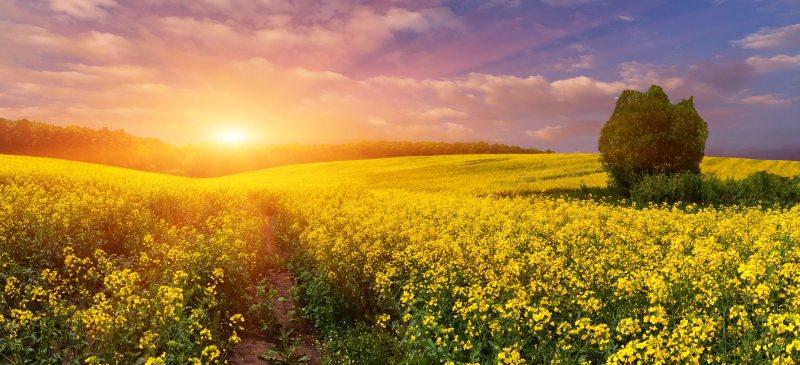 Campo al atardecer de cultivo de colza