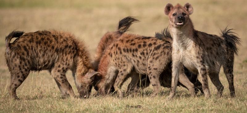 Un grupo de hienas es alguno de los huesos de los restos encontrados en el yacimiento